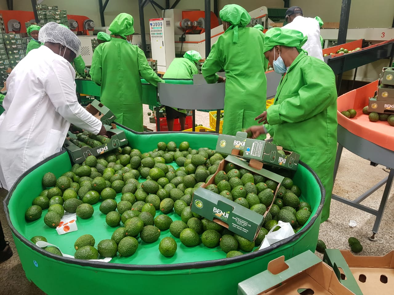 First BENJI Hass avocadoes are being packed in Kenya - Beva Fruits International (BFI)